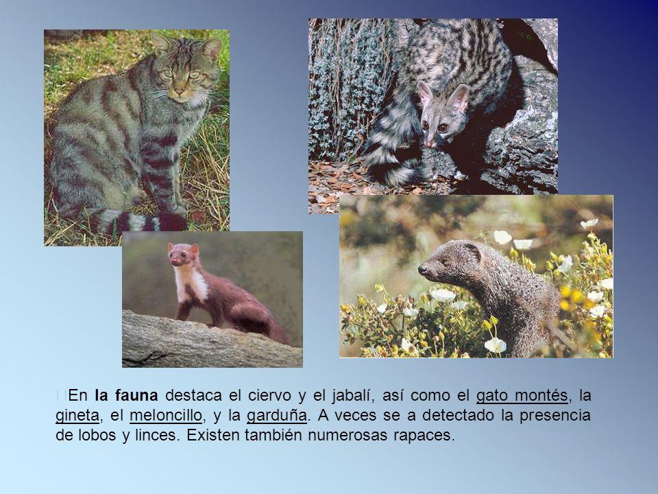 En la fauna destaca el ciervo y el jabalí, así como el gato montés, la gineta, el meloncillo, y la garduña. A veces se a detectado la presencia de lob