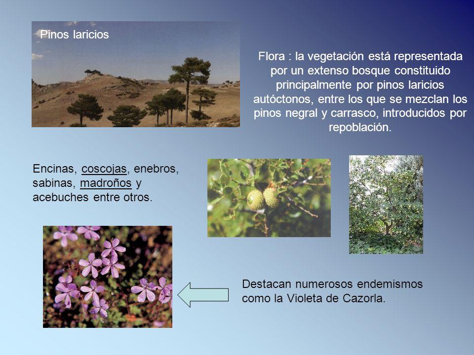Flora : la vegetación está representada por un extenso bosque constituido principalmente por pinos laricios autóctonos, entre los que se mezclan los pinos negral y carrasco, introducidos por repoblación.