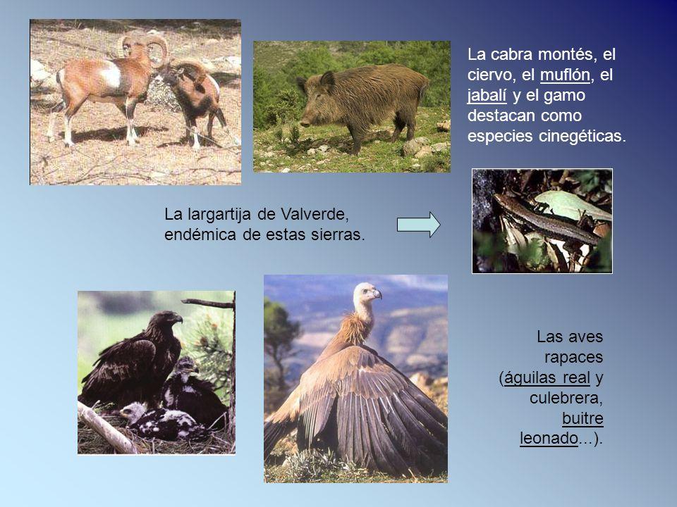 Las aves rapaces (águilas real y culebrera, buitre leonado...). La cabra montés, el ciervo, el muflón, el jabalí y el gamo destacan como especies cine
