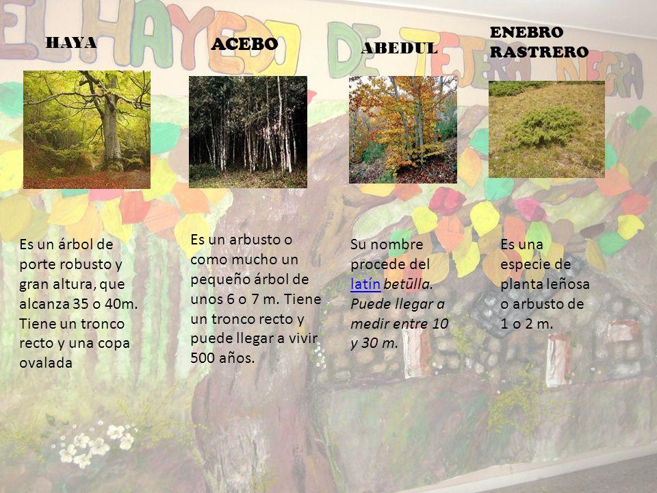 Bosque de hayas centenarias, melojo, pino silvestre, tejos, acebo y abedules. Entre los arbustos hay arándanos, enebros rastreros y gayuba; además de