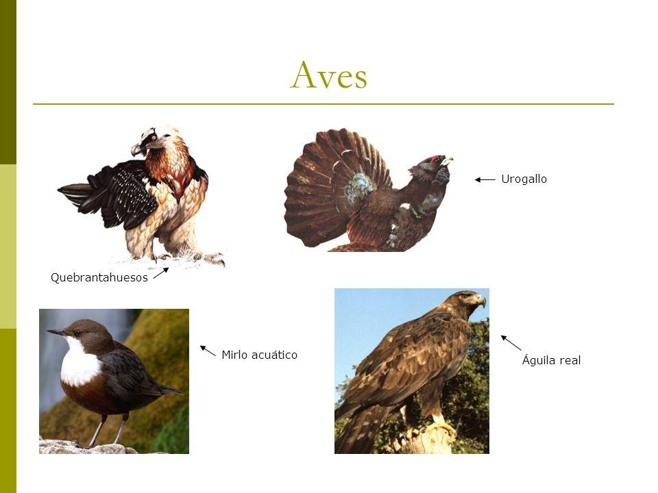 Aves Quebrantahuesos Urogallo Águila real Mirlo acuático