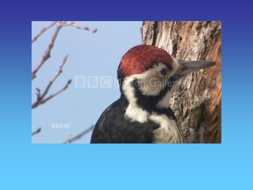 Más Fauna … Entre las aves, el Cóndor, el Choique, varias especies de Águilas y Halcones, el Carpintero Patagónico y la Paloma Araucana.