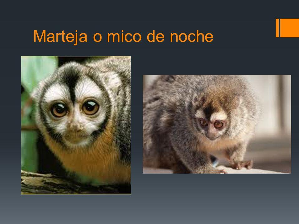 Marteja o mico de noche