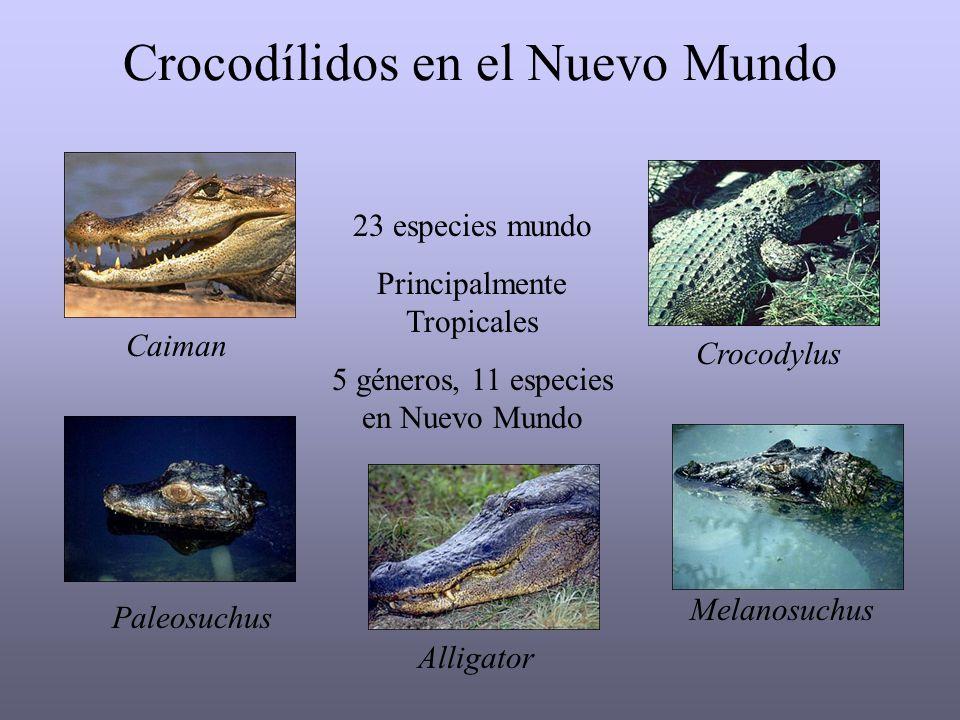 Crocodílidos en el Nuevo Mundo Paleosuchus Melanosuchus Alligator 23 especies mundo Principalmente Tropicales 5 géneros, 11 especies en Nuevo Mundo Caiman Crocodylus
