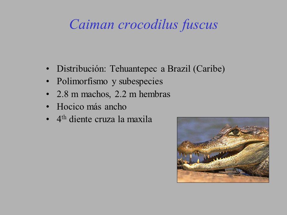 Caiman crocodilus fuscus Distribución: Tehuantepec a Brazil (Caribe) Polimorfismo y subespecies 2.8 m machos, 2.2 m hembras Hocico más ancho 4 th diente cruza la maxila