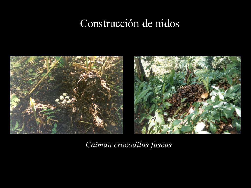 Construcción de nidos Caiman crocodilus fuscus