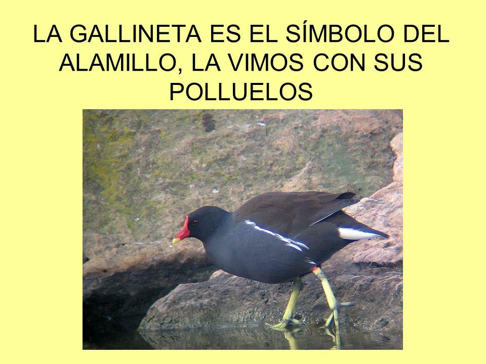 LA GALLINETA ES EL SÍMBOLO DEL ALAMILLO, LA VIMOS CON SUS POLLUELOS