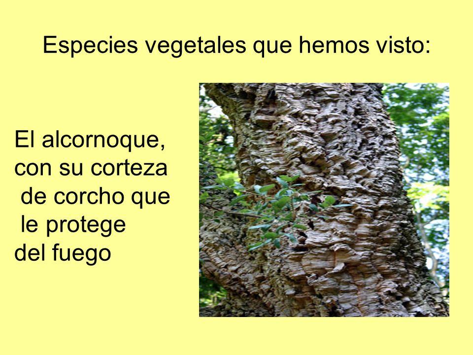 Especies vegetales que hemos visto: El alcornoque, con su corteza de corcho que le protege del fuego