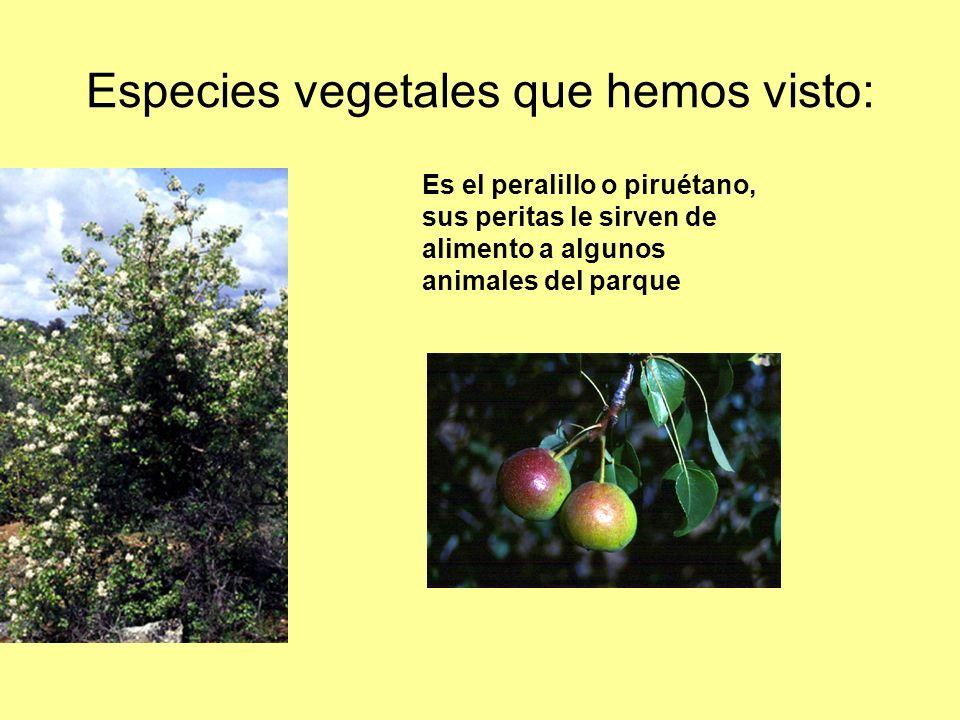 Especies vegetales que hemos visto: Es el peralillo o piruétano, sus peritas le sirven de alimento a algunos animales del parque