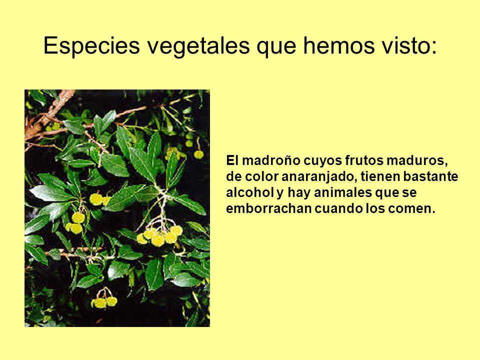 Especies vegetales que hemos visto: El madroño cuyos frutos maduros, de color anaranjado, tienen bastante alcohol y hay animales que se emborrachan cu