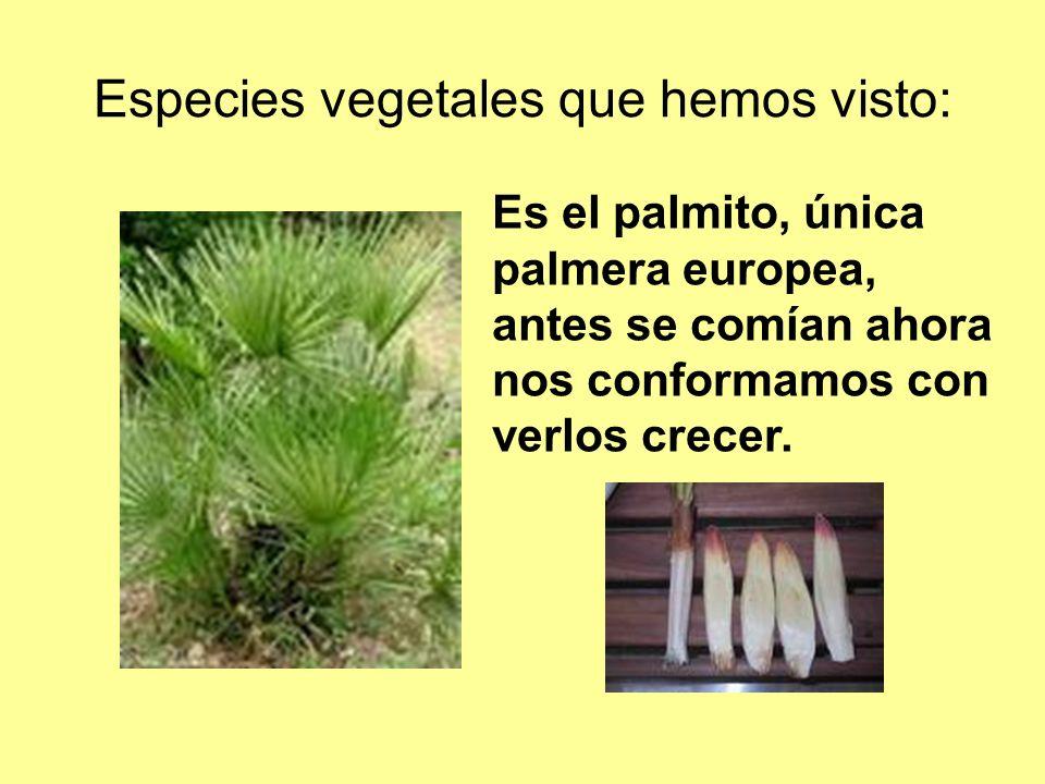 Especies vegetales que hemos visto: Es el palmito, única palmera europea, antes se comían ahora nos conformamos con verlos crecer.