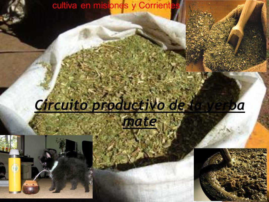 Circuito productivo de la yerba mate cultiva en misiones y Corrientes