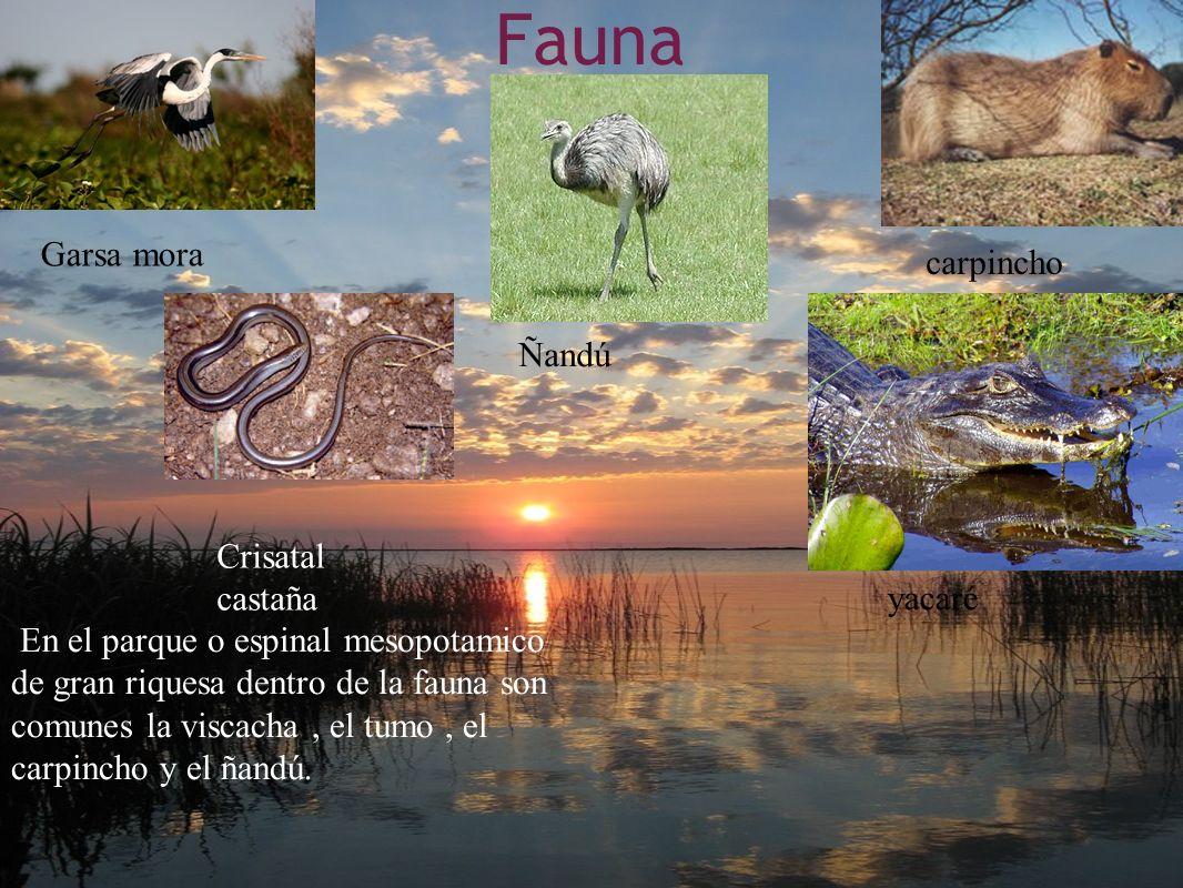 Fauna. En el parque o espinal mesopotamico de gran riquesa dentro de la fauna son comunes la viscacha, el tumo, el carpincho y el ñandú. carpincho Gar
