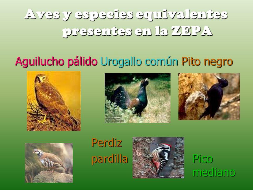 Aves y especies equivalentes presentes en la ZEPA Aguilucho pálido Urogallo común Pito negro Perdiz Perdiz pardilla Pico mediano
