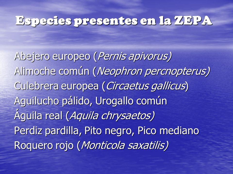 Especies presentes en la ZEPA Abejero europeo (Pernis apivorus) Alimoche común (Neophron percnopterus) Culebrera europea (Circaetus gallicus) Aguiluch
