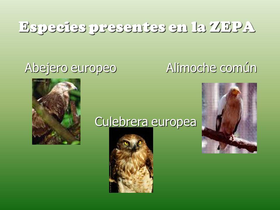 Especies presentes en la ZEPA Abejero europeo Alimoche común Abejero europeo Alimoche común Culebrera europea Culebrera europea