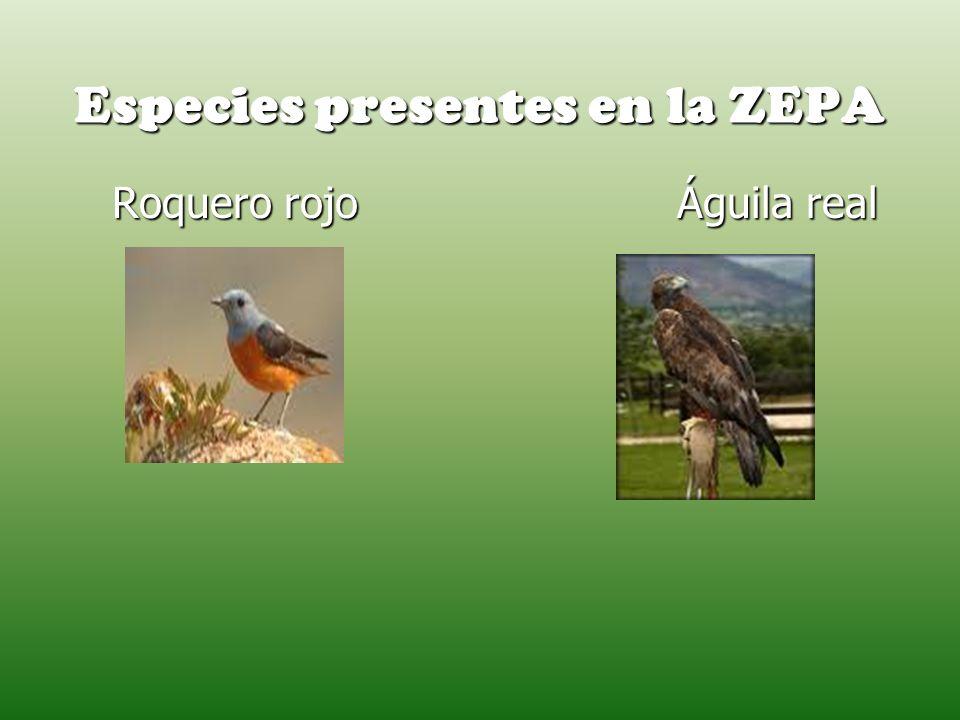 Especies presentes en la ZEPA Roquero rojo Águila real Roquero rojo Águila real