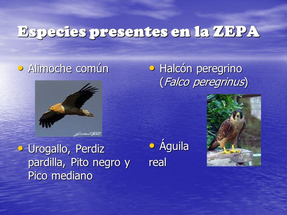 Especies presentes en la ZEPA Alimoche común Alimoche común Urogallo, Perdiz pardilla, Pito negro y Pico mediano Urogallo, Perdiz pardilla, Pito negro