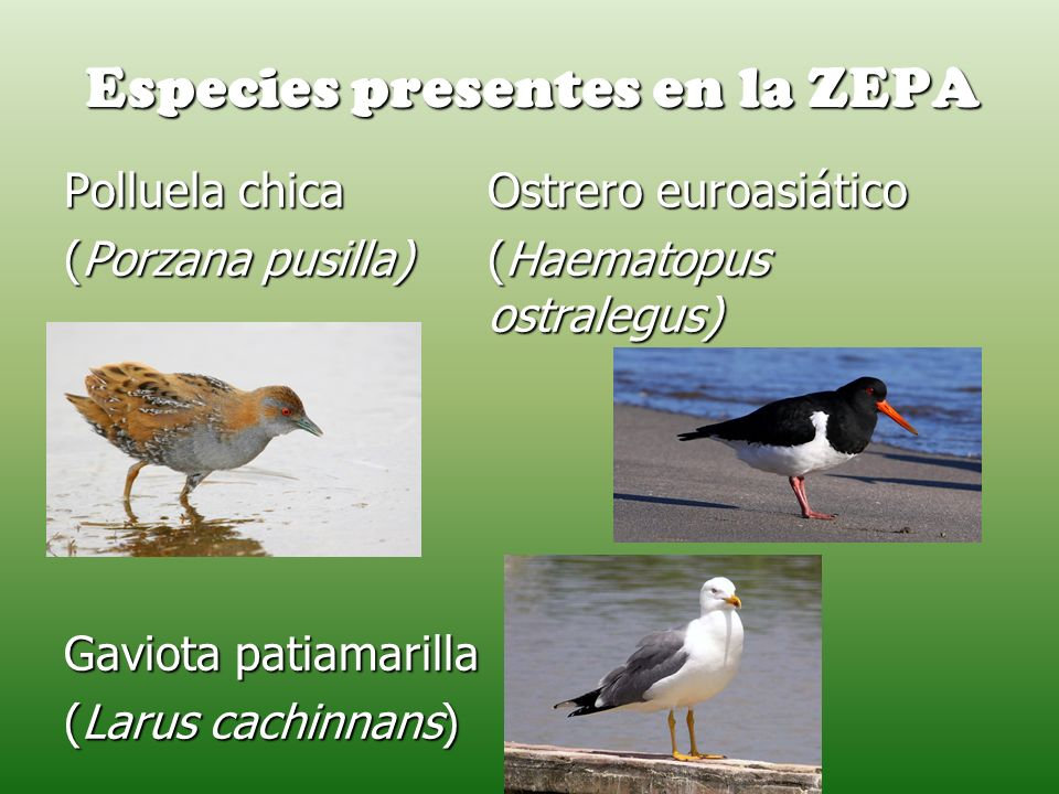 Especies presentes en la ZEPA Polluela chica Ostrero euroasiático (Porzana pusilla)(Haematopus ostralegus) Gaviota patiamarilla (Larus cachinnans)