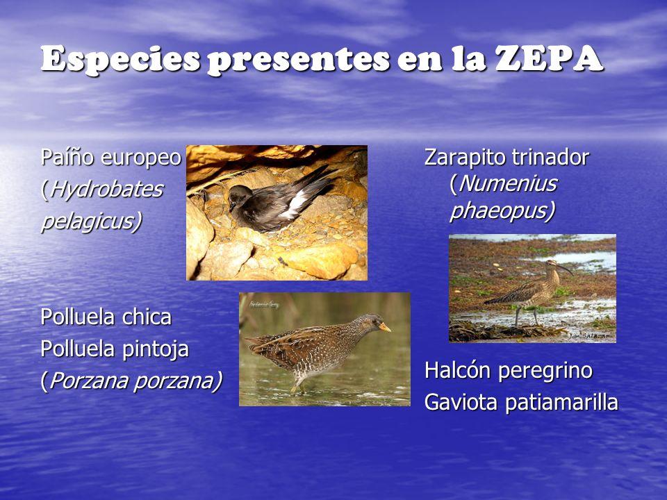 Especies presentes en la ZEPA Paíño europeo (Hydrobates pelagicus) Polluela chica Polluela pintoja (Porzana porzana) Zarapito trinador (Numenius phaeo