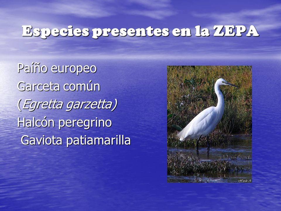 Especies presentes en la ZEPA Paíño europeo Garceta común (Egretta garzetta) Halcón peregrino Gaviota patiamarilla Gaviota patiamarilla