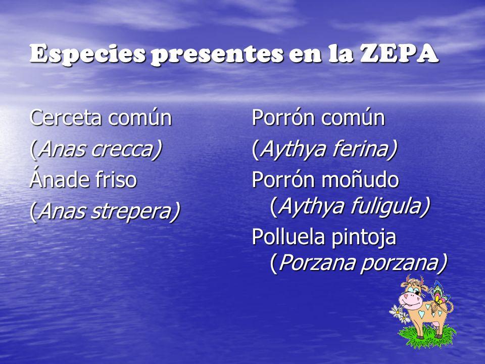 Especies presentes en la ZEPA Cerceta común (Anas crecca) Ánade friso (Anas strepera) Porrón común (Aythya ferina) Porrón moñudo (Aythya fuligula) Pol