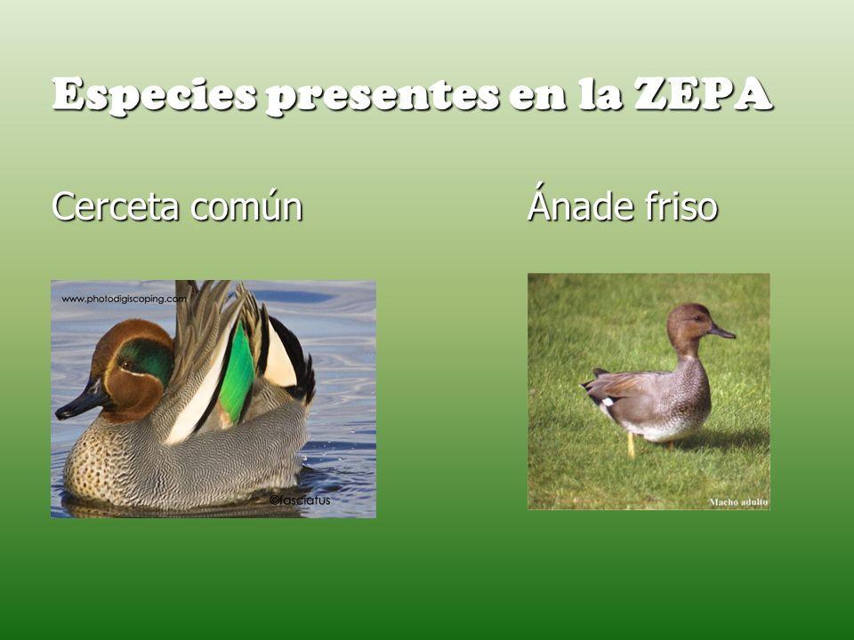 Especies presentes en la ZEPA Cerceta común Ánade friso