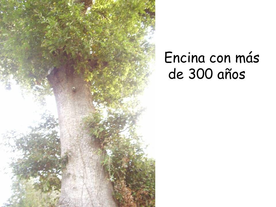 Encina con más de 300 años