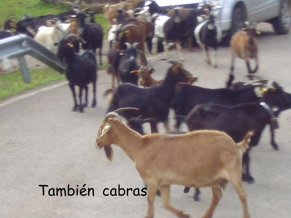 También cabras