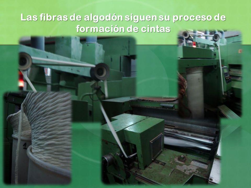 Las fibras de algodón siguen su proceso de formación de cintas