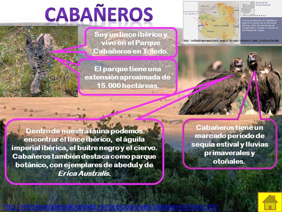 Soy un lince ibérico y vivo en el Parque Cabañeros en Toledo.