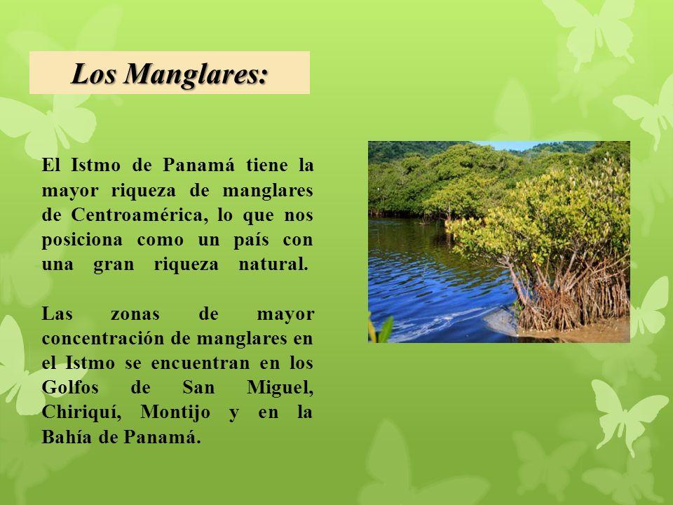 El Istmo de Panamá tiene la mayor riqueza de manglares de Centroamérica, lo que nos posiciona como un país con una gran riqueza natural.