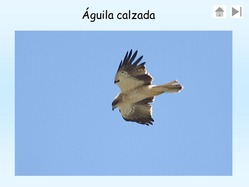 1.Águila calzadaÁguila calzada 2.Águila perdiceraÁguila perdicera 3.Águila realÁguila real 4.Búho realBúho real 5.Halcón comúnHalcón común 6.Culebrera