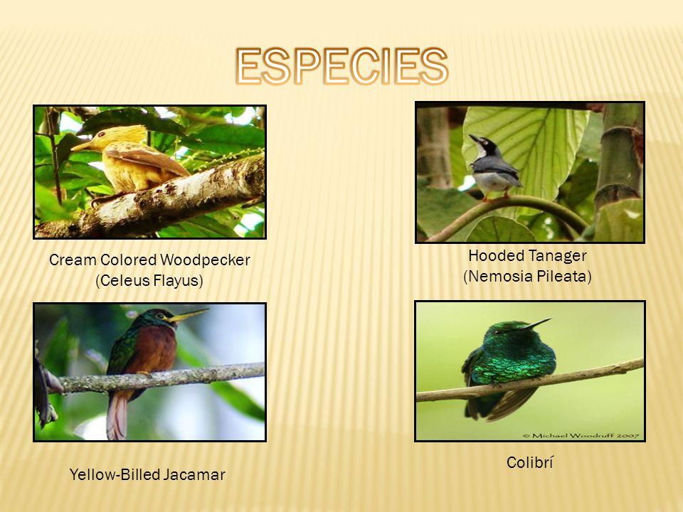 Cream Colored Woodpecker (Celeus Flayus) Hooded Tanager (Nemosia Pileata) Yellow-Billed Jacamar Colibrí