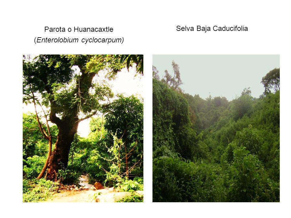 Parota o Huanacaxtle (Enterolobium cyclocarpum) Selva Baja Caducifolia