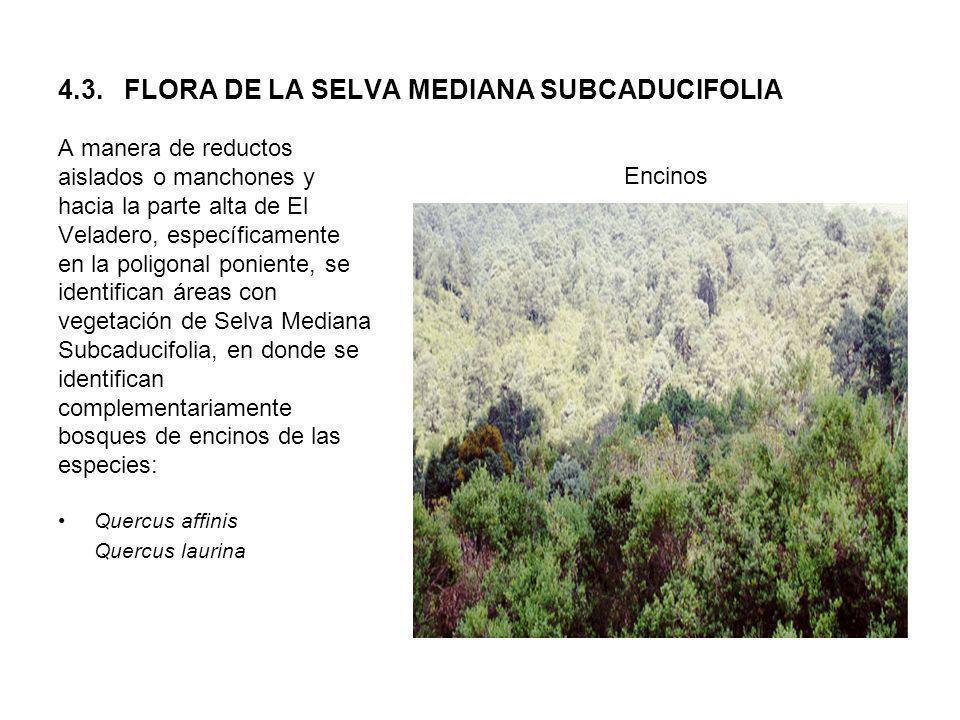 4.3. FLORA DE LA SELVA MEDIANA SUBCADUCIFOLIA A manera de reductos aislados o manchones y hacia la parte alta de El Veladero, específicamente en la po