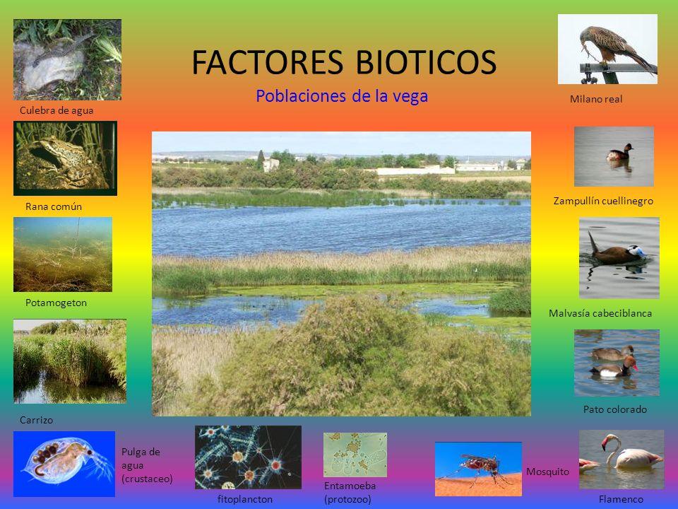 FACTORES BIOTICOS Poblaciones de la vega Culebra de agua Rana común Zampullín cuellinegro Malvasía cabeciblanca Pato colorado Flamenco Carrizo Pulga d
