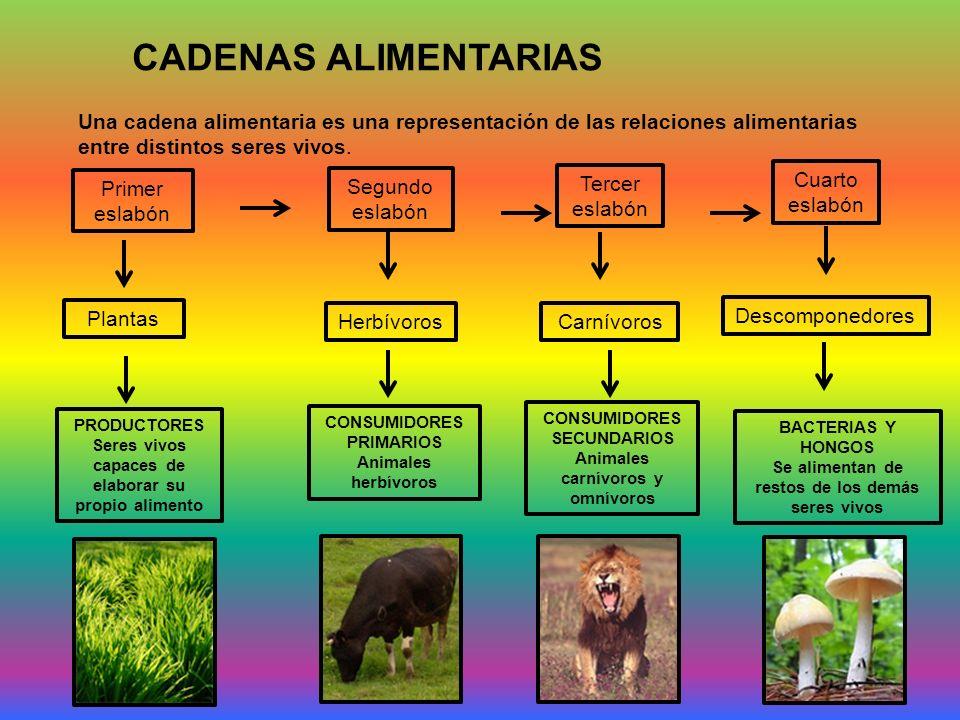 CADENAS ALIMENTARIAS Una cadena alimentaria es una representación de las relaciones alimentarias entre distintos seres vivos. Primer eslabón Segundo e