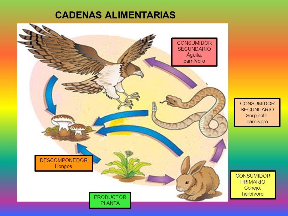 CADENAS ALIMENTARIAS PRODUCTOR PLANTA CONSUMIDOR PRIMARIO Conejo: herbívoro CONSUMIDOR SECUNDARIO Serpiente: carnívoro CONSUMIDOR SECUNDARIO Águila: carnívoro DESCOMPONEDOR Hongos