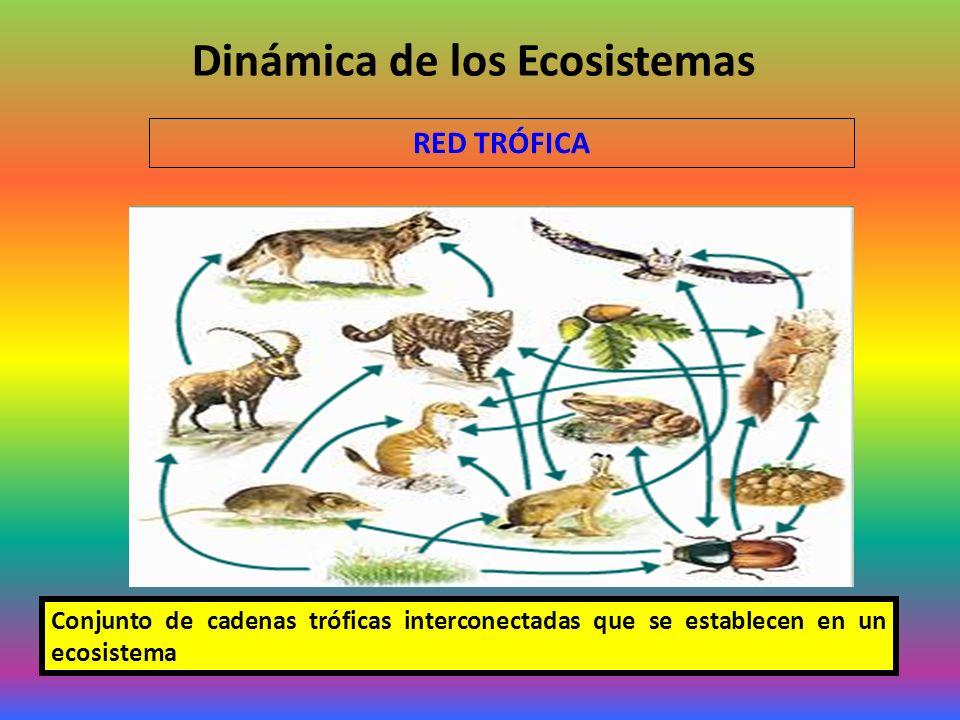Dinámica de los Ecosistemas RED TRÓFICA Conjunto de cadenas tróficas interconectadas que se establecen en un ecosistema