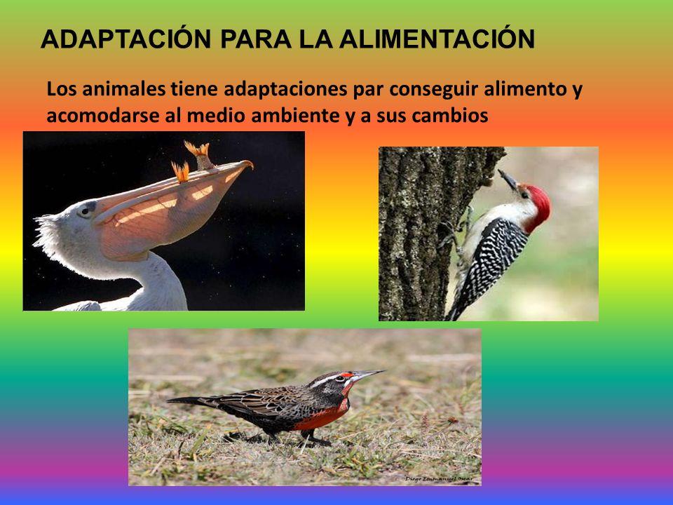 ADAPTACIÓN PARA LA ALIMENTACIÓN Los animales tiene adaptaciones par conseguir alimento y acomodarse al medio ambiente y a sus cambios