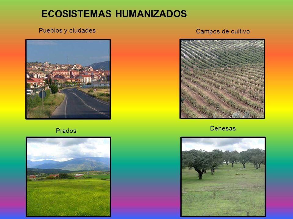 ECOSISTEMAS HUMANIZADOS Pueblos y ciudades Campos de cultivo Prados Dehesas