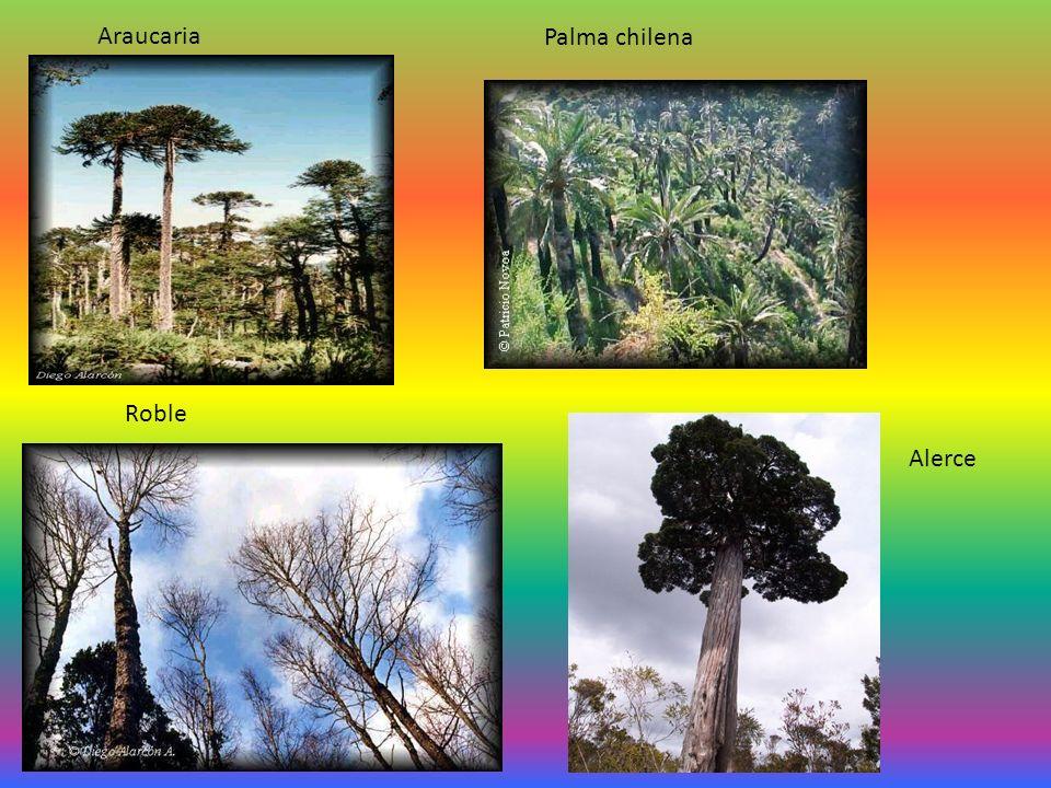 Araucaria Palma chilena Alerce Roble