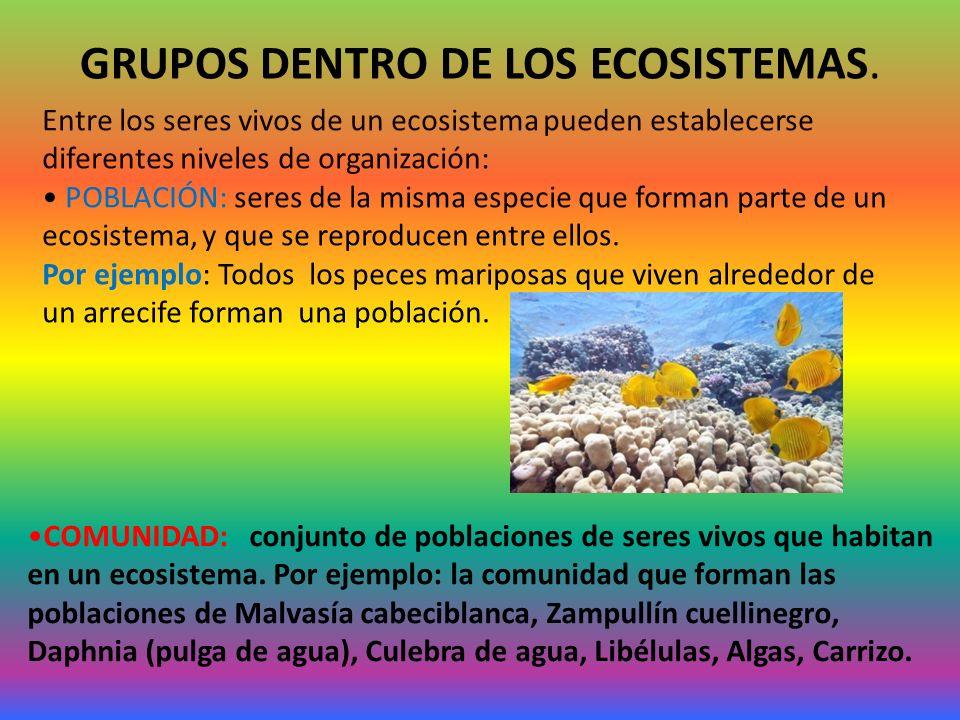 GRUPOS DENTRO DE LOS ECOSISTEMAS. Entre los seres vivos de un ecosistema pueden establecerse diferentes niveles de organización: POBLACIÓN: seres de l