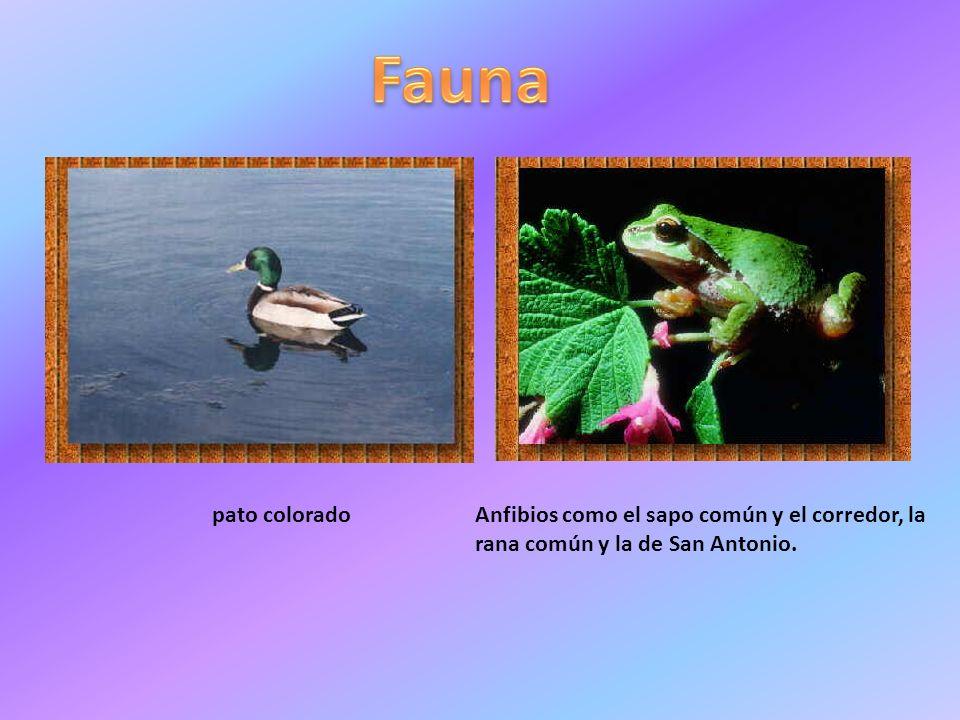 pato coloradoAnfibios como el sapo común y el corredor, la rana común y la de San Antonio.