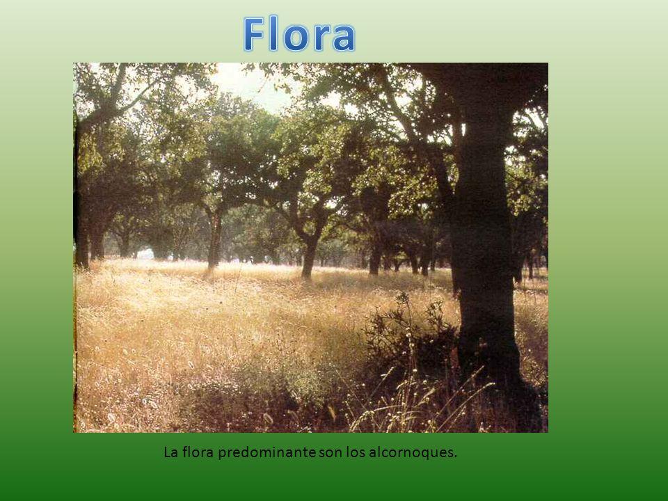 La flora predominante son los alcornoques.
