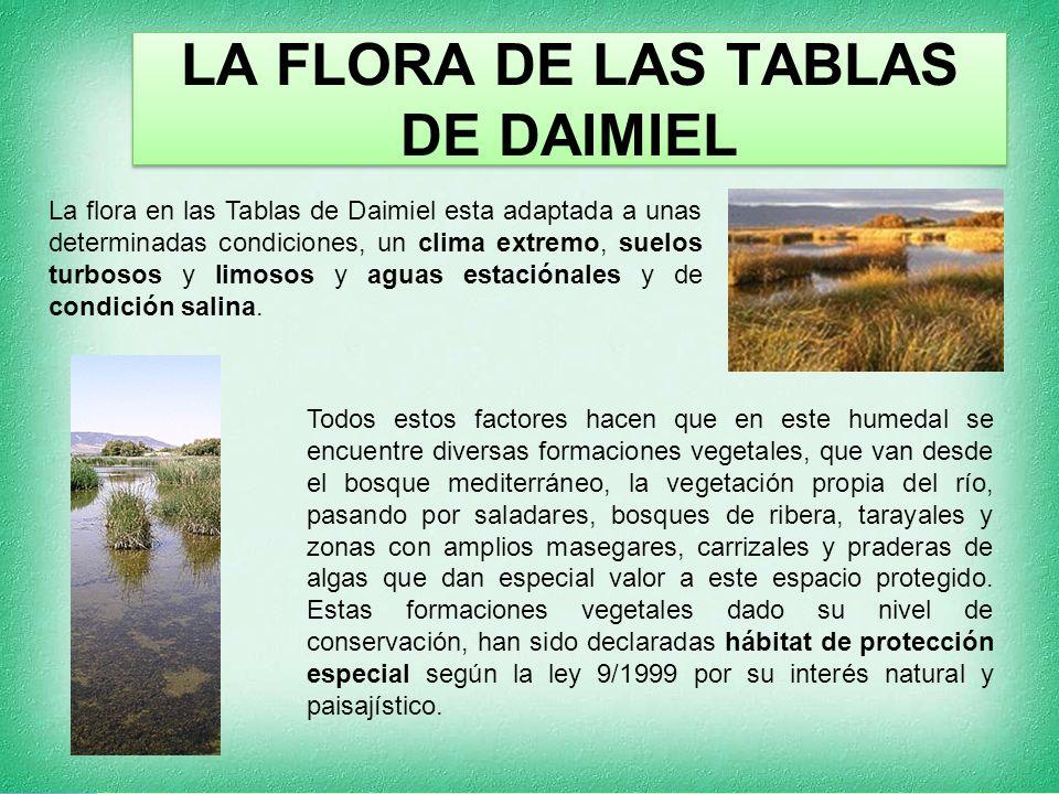 LA FLORA DE LAS TABLAS DE DAIMIEL La flora en las Tablas de Daimiel esta adaptada a unas determinadas condiciones, un clima extremo, suelos turbosos y limosos y aguas estaciónales y de condición salina.