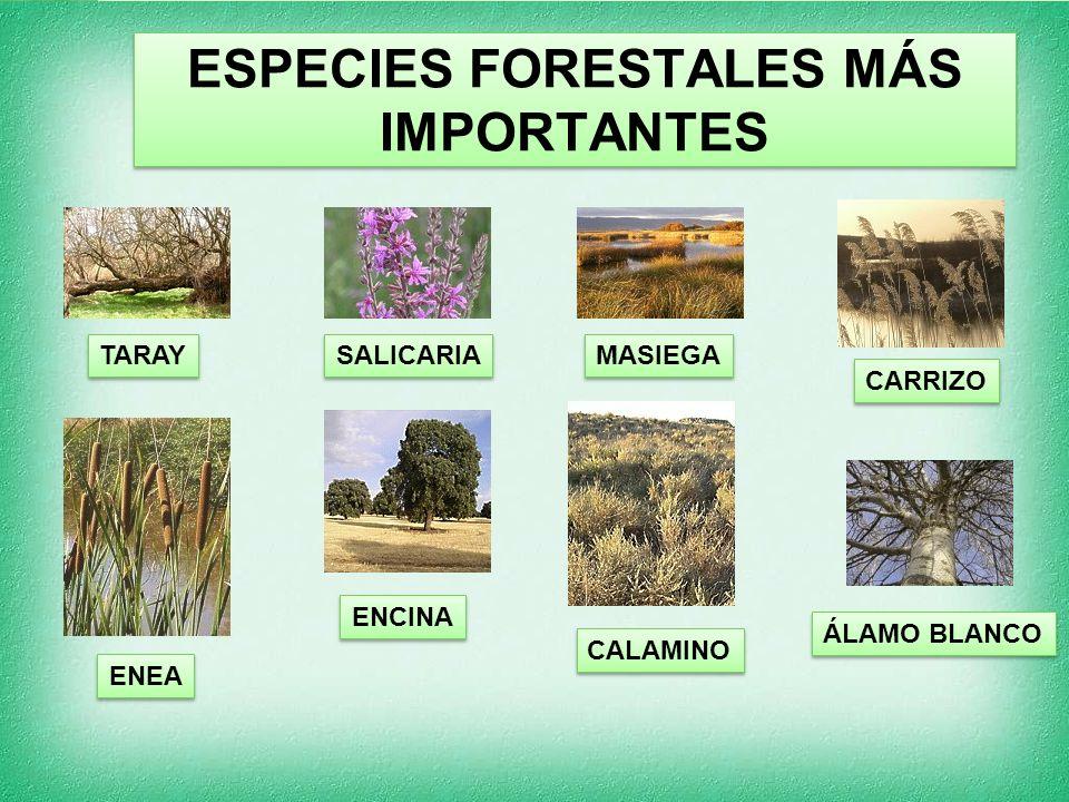 ESPECIES FORESTALES MÁS IMPORTANTES TARAY SALICARIA MASIEGA ENEA ENCINA CARRIZO CALAMINO ÁLAMO BLANCO