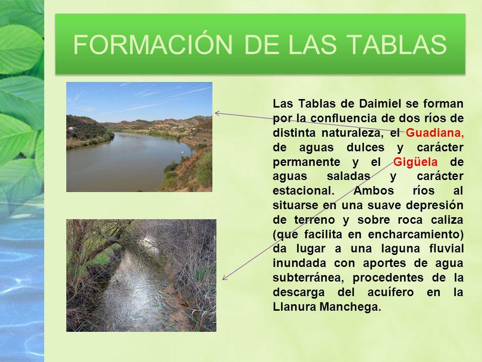 FORMACIÓN DE LAS TABLAS Las Tablas de Daimiel se forman por la confluencia de dos ríos de distinta naturaleza, el Guadiana, de aguas dulces y carácter permanente y el Gigüela de aguas saladas y carácter estacional.