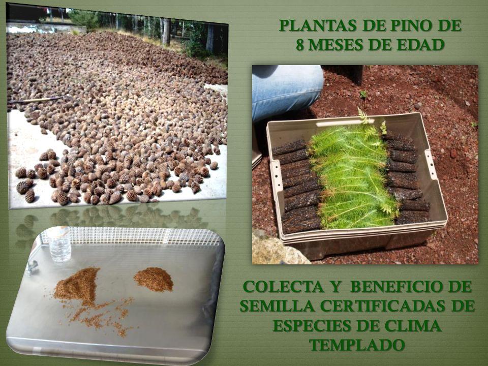 PLANTAS DE PINO DE 8 MESES DE EDAD COLECTA Y BENEFICIO DE SEMILLA CERTIFICADAS DE ESPECIES DE CLIMA TEMPLADO